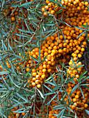 Sea Buckthorn Hippophae rhamnoides in autumn Cromer North Norfolk