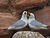 Black-legged Kittiwakes Rissa tridactyla in nesting colony on ledge of Dunbar Castle Scottish borders.UK