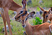 Black-faced Impala Aepyceros melampus mutual grooming sub species of Common Impala Namibia southern Africa.