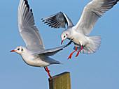 Black headed Gulls Larus ridibundus in flight landing on post