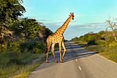 Angolan giraffe Giraffa giraffa angolensis crossing road subspecies of Southern giraffe found in northern Namibia