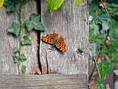 Comma Butterfly Polygonia c-album settled on gate post Norfolk