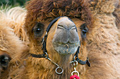Domesticated Bactrian camels Camelus bactrianus used for camel racing