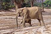 Elephant Loxodonta africana africana,desert dwelling. Kunene Region, Namibia's northwest.\n