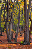 Epping Forest Essex Beeches Fagus sylvatica in Autumn