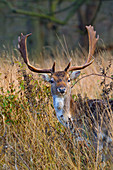 Fallow Deer Cervus dama buck in winter at Holkham Norfolk