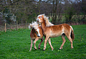 Haflinger horses young yearling mares running in meadow