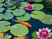 A golden Koi carp in the garden pond with water lilies