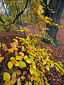 Beech trees Fagus sylvatica  and autumn leaves Felbrigg Great Wood Norfolk UK Early November