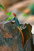 male Namibian Rock Agama Lizard Agama planiceps sunbathing Namibia Southern Africa.