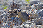 Rock hyrax, Procavia capensis, mother and young, Namibia March