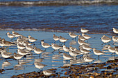 Sanderlings Calidris alba feeding on North Norfolk Beach in Winter
