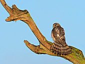 Sparrow Hawk Accipiter nisus perched on winter morning