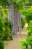 Wisteria Arch (Wisteria sinensis native to China)Houghton Hall garden Norfolk