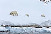 Polar Bear\n(Ursus maritimus)\ncollared female with cubs\nSvalbard