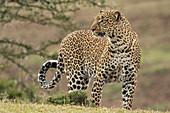 African Leopard\n(Panthera pardus)\nwalking\nMaasai Mara, Kenya, Africa