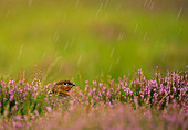 Red Grouse\n(Lagopus lagopus scoticus)\nin rain\nScotland