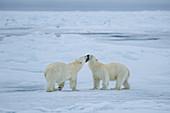 Polar Bear\n(Ursus arctos)\ngreeting on sea ice\nSvalbard