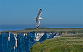 Herring Gull and limestone cliffs of Bempton RSPB Reserve East Yorkshire UK England