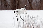 Japanese crane, Red-crowned crane (Grus japonensis) dancing , Japan