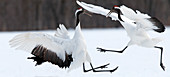 Japanese crane, Red-crowned crane (Grus japonensis) Fighting, Japan