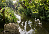 Domestic GEESE in Somerset river, Somerset levels, UK