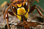 EUROPEAN HORNET (Vespa crabro) drinking, Sussex, UK