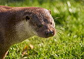 EURASIAN OTTER  portrait (Lutra lutra) -  illistrating its broad stubby head and wealth of strong whiskers