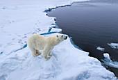 Polar Bear\n(Ursus arctos)\nwalking on sea ice\nSvalbard
