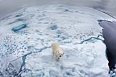 Polar Bear\n(Ursus arctos)\non sea ice using fisheye\nSvalbard