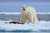 Polar Bear\n(Ursus arctos maritimus)\non pack ice with fresh seal kill\nSvalbard