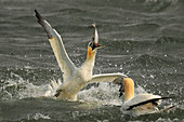 Gannet\n(Sula bassana)\nFeeding\nBempton Cliffs, UK