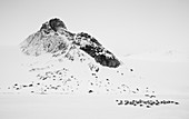 Black-legged Kittiwake\n(Rissa tridactyla)\nresting on ice\nSvalbard