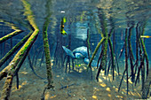 Galapagos Green Turtle\n(Chelonia latreille)\nswimming through mangrove forest\nGalapagos