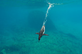 Galapagos Penguin\n(Spheniscus mendiculus)\ndiving for fish\nGalapagos