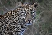 African Leopard\n(Panthera pardus)\nportrait\nMasai Mara, Africa