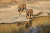 Bengal Tiger\n(Panthera tigris)\n3 month old cubs playing\nRanthambhore, India