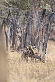 Bengal Tiger\n(Panthera tigris)\ntigress Noor with cubs in rain\nRanthambhore, India