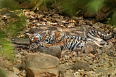 Bengal Tiger\n(Panthera tigris)\nfemale with cub affection\nRanthambhore, India