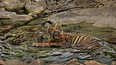 Bengal Tiger\n(Panthera tigris)\ncub playing with stick in waterhole in summer\nRanthambhore, India