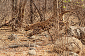 Indian Leopard\n(Panthera pardus fusca)\nmale hunting\nRanthambhore, India
