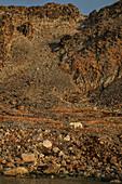Polar Bear\n(Ursus maritimus)\nwalking on land\nSvalbard
