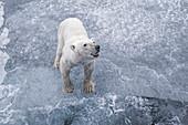 Polar Bear\n(Ursus maritimus)\naggressive bear looking at ship\nSvalbard
