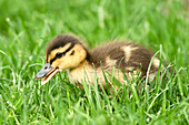 Mallard duckling, anas platyrhynchos, walking in grass at Manito Park in Spokane, Washington.