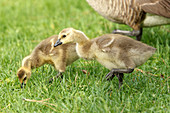 Two Canadian Geese goslings, branta canadensis, walk in the grass at Manito Park in Spokane, Washington.