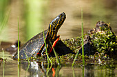 An America Painted turtle (chrysemys picta) is partly on a log on Fernan Lake in Idaho.
