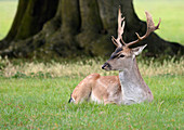 A young Fallow deer buck (Dama dama) lying in short grass. Holkham Estate, Norfolk, UK
