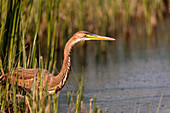 Purple heron (Ardea purpurea) fishing in a lake in the Danube Delta Romania