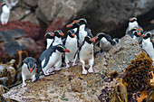 A group of Snares penguins (Eudyptes robustus), also known as the Snares crested penguin on rocks at the waters edge of Snares Island, New Zealand.