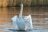 Mute swan drying its wings(Cygnus olor). Natural reserve of Champittet, Switzerland.  Eurasia, and (as a rare winter visitor) the far north of Africa. It is an introduced species in North America, Australasia and southern Africa.